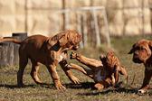 Sehr lustige Welpen Bordeaux-Dogge — Stockfoto