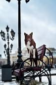 Border Collie dog trained to perform tricks in the center of Moscow. Russia . — Stock Photo