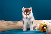 Funny puppy with a bouquet of flowers wishes happy holidays — Stock Photo