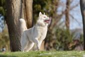 ボールで遊ぶハスキー犬 — ストック写真