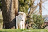 Husky with blue eyes pooping in a dog park — Stock Photo