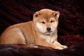 Dog breed Shiba Inu puppy — Stock Photo