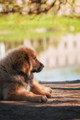 Szczeniaka mastifa tybetańskiego — Zdjęcie stockowe