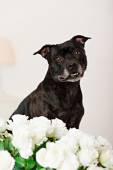 Staffordshire Bull Terrier of a white background and flowers — Stock Photo