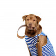 Red dog sailor on a white background — Stock Photo #75153893