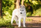 シベリアン ハスキー犬屋外の 1 つの小さなかわいい子犬 — ストック写真
