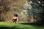Border Collie dog catches the disc on a background of flowering garden — Stock Photo