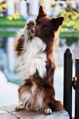Red border collie dog sitting on a log in summer — Stock Photo