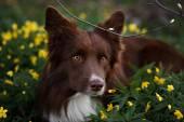 Happy brown dog border collie portrait in summer — Stock Photo