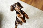 Dachshund dog looks at camera — Stock Photo