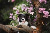 Border Collie dog performs the trick in a lavender garden — Stock Photo