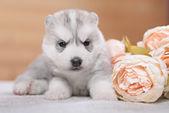 Puppy of siberian husky — Stock Photo