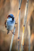 Sparrow on the twig — Stock Photo