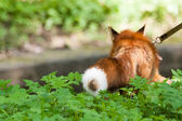 Fox for a walk in the zoo. — Stock Photo