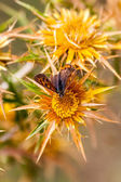 Butterfly sitting on a flower on the island of Thassos — Stock Photo