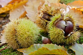 Chestnuts in a husk — Stock Photo