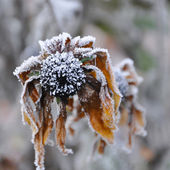 Closeup of iced deadhead of cone flower — Stock Photo