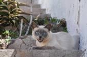 Krásný purebread kočka sedí venku na schodech — Stock fotografie