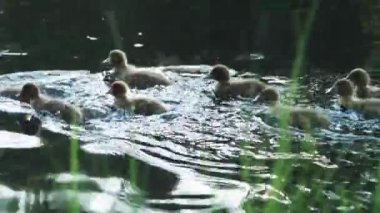 Маленьких уток на реке — Стоковое видео