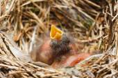 Two chicks in the nest — Stock Photo