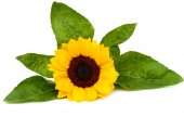 Sunflower with leaves isolated on white background — Stock Photo