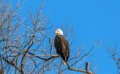 Bald Eagle Pride — Stock Photo