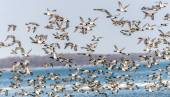 Canvasback Duck Chaos — Stock Photo
