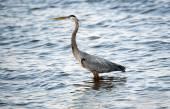 Chesapeake Bay Blue Heron — Stock Photo