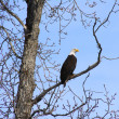 Alaskan Bald Eagle — Stock Photo #74385453