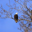 Alaskan Bald Eagle in tree at sunset — Stock Photo #74385487