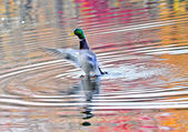 Duck on an Autumn pond in the Chesapeake Bay Maryland — Stock Photo