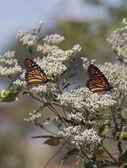 Mariposas monarca en algodoncillo — Foto de Stock