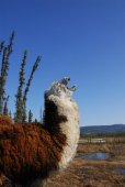 Llama howling — Stock Photo