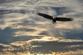 Kel kartal Alaska uçan — Stok fotoğraf