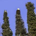 Alaskan Bald Eagle in spruce tree — Stock Photo #82031776
