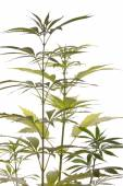 Fresh Marijuana Plant Leaves on White Background — Stock Photo