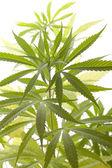 Färska Marijuana växt blad på vit bakgrund — Stockfoto