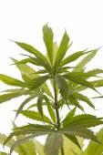 Fresh Marijuana Plant Leaves on White Background — Stock Photo