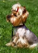Charming Yorkshire terrier  in the grass. — Stock Photo