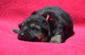 Shepherd puppy — Stock Photo