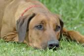 Dog Rhodesian Ridgeback — Stock Photo