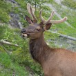 Portrait of canadian white-tail deer — Stock Photo #74263349