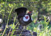 Closeup of a dusky grouse displaying red throat — Stock Photo