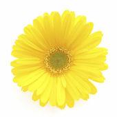 Yellow Gerbera flower — Stock Photo