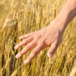 Harvest concept of hand touching wheat ears — Stockfoto #78262880