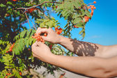 Two hands picking red rowanberries from tree branch with leaves — Stock Photo