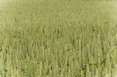 A large wheat field in Germany — Stock Photo