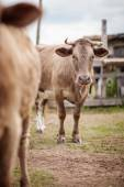 Portrait of a beautiful cow bull who looks into the camera Outdoors — Stock Photo