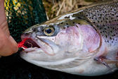Releasing a rainbow trout from a hook — Stock Photo