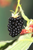 Blackberries on a farm — Stock Photo